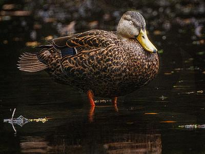 Duck Copyright 2021 Steve Leimberg UnSeenImages Com _DSC1335