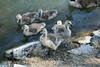 Canada Geese - Vasona Park (47) D