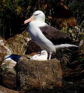 Mom and Chick Albatross Copyright 2020 Steve Leimberg UnSeenImages Com _DSF9009