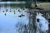Canada Geese - Vasona Park (15) D