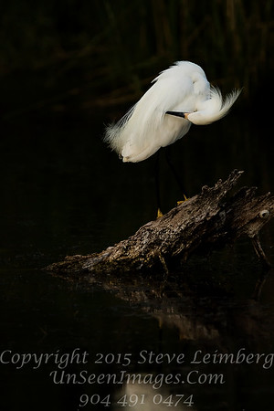 Egret Preening over Log - Copyright 2016 Steve Leimberg - UnSeenImages Com _Z2A9949