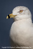 Sea Gull Profile - Copyright 2015 Steve Leimberg - UnSeenImages Com _M1A4615