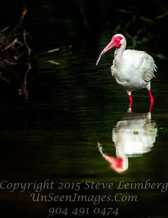 Red Headed Ibis - Copyright 2017 Steve Leimberg - UnSeenImages Com _Z2A1418