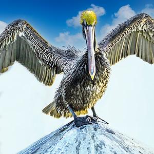 Pelican Wings Spread Copyright 2021 Steve Leimberg UnSeenImages Com _DSC0166 copy