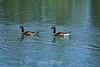 Canada Geese - Vasona Park (26) D
