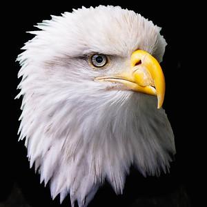 Eagle has Landed Juneau Alaska Copyright 2021 Steve Leimberg UnSeenImages Com _Z2A6239 copy