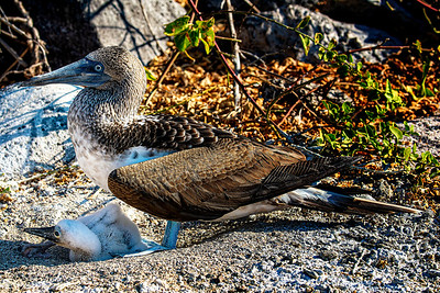 Mom and Baby Blue-Footed Booby - Copyright 2020 Steve Leimberg UnSeenImages Com _DSC6018