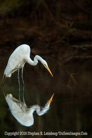 Egret Looking for Food _H1R1938