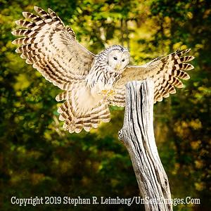 Ural Owl at Landing - Copyright 2018 Steve Leimberg UnSeenImages Com _A6I9190