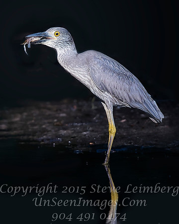 Heron with Crab - No Reflection on Me - Copyright 2016 Steve Leimberg - UnSeenImages Com _A6I1950