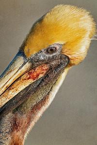 Pelican Profile Copyright 2021 Steve Leimberg UnSeenImages Com _DSC6738