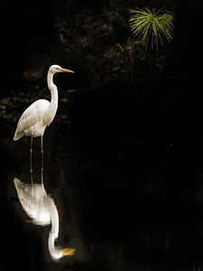 Great Egret at Golden Pond Copyright 2021 Steve Leimberg UnSeenImages Com _DSC7188 copy