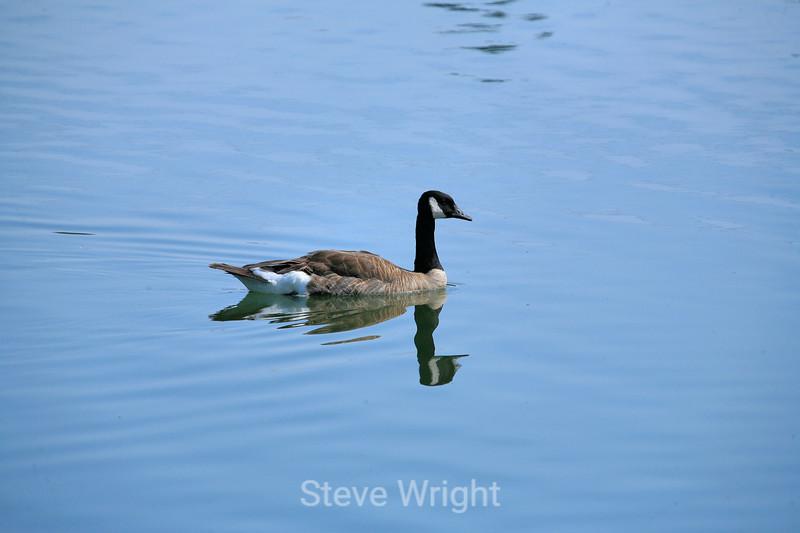 Canada Geese - Vasona Park (14) D
