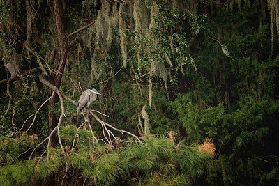 Heron in Tree Special Place   Steve Leimberg UnSeenImages Com   X BL8I8025 MPIXPRO