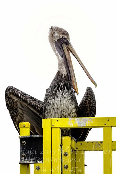 Pelican - Copyright 2017 Steve Leimberg - UnSeenImages Com _Z2A7836