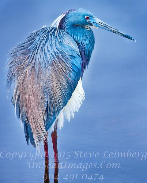Blue Heron Copyright 2018 Steve Leimberg UnSeenImages Com