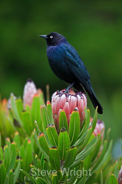 Blackbird - SF Zoo #5371