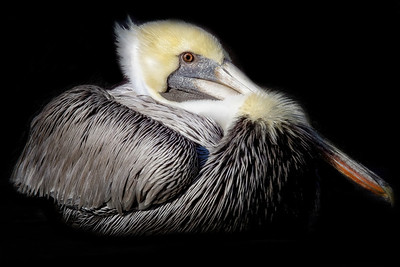 Pelican Resting - Copyright 2020 Steve Leimberg - UnSeenImages Com _M1A2470