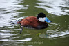 Ruddy Duck - SF Zoo #6375