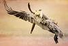 Pelican Landing - Copyright 2015 Steve Leimberg - UnSeenImages Com _M1A5396