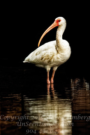 White Ibis -  Copyright 2016 Steve Leimberg - UnSeenImages Com _Z2A8499