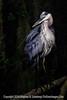 Heron on Tree - Copyright 2015 Steve Leimberg - UnSeenImages Com _M1A9440