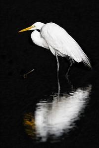 Great Egret Profile Copyright 2021 Steve Leimberg UnSeenImages Com _DSC0113 copy