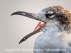 GULL - Say Ahh - Copyright 2015 Steve Leimberg - UnSeenImages Com _M1A0161
