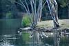 Canada Geese - Vasona Park (13) D