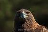 Golden Eagle - SF Zoo (5099)