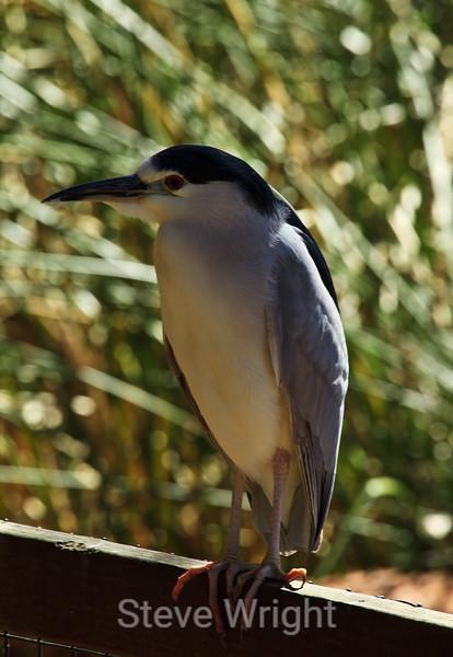 Black-Crowned Night Heron - SF Zoo (4902)
