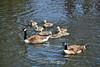 Canada Geese - Vasona Park (43) D