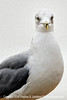 Seagull Posing PAINTING - Copyright 2014 Steve Leimberg - UnSeenImages Com _H1R4240