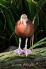 Black-bellied Whistling Duck - SF Zoo (5127)