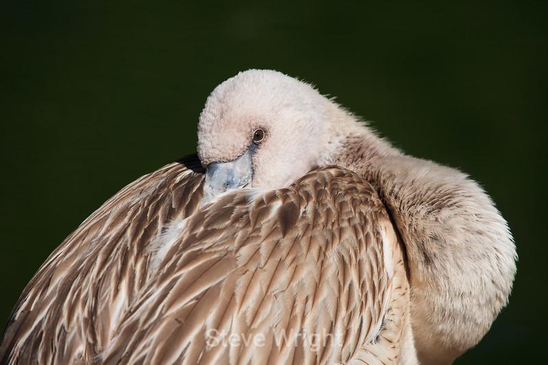 Flamingos - SF Zoo (5178)