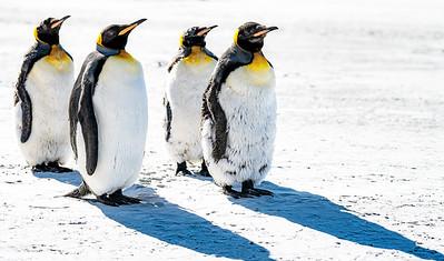 West Point Penguins at Attention Copyright 2020 Steve Leimberg UnSeenImages Com _DSC1281