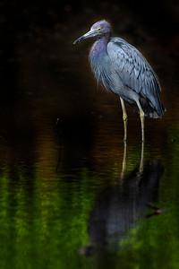 Heron at Golden Pond Copyright 2021 Steve Leimberg UnSeenImages Com _DSC3563 copy