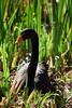 Black Swans - SF Zoo (4782)