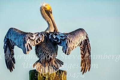 Salty Pelican - Copyright 2018 Steve Leimberg UnSeenImages Com _Z2A2151