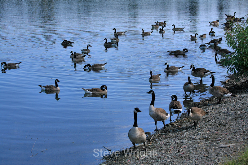 Canada Geese - Vasona Park (20) D