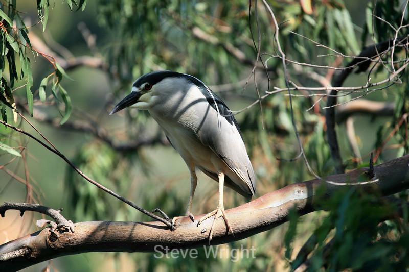Black-Crowned Night Heron - Vasona (3) D