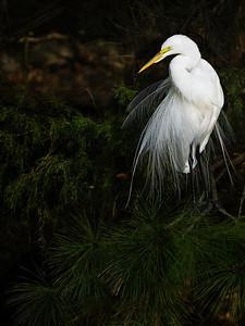 Great Egret Posing at Golden Pond Copyright 2021 Steve Leimberg UnSeenImages Com _DSC3298