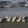 Shore birds at the lighthouse beach in Hansville Washington.