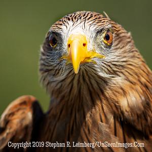 Tawney Eagle - Copyright 2018 Steve Leimberg UnSeenImages Com _A6I8868