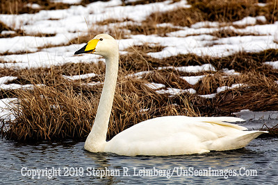 Swan Copyright 2019 Steve Leimberg UnSeenImages Com _Z2A6591