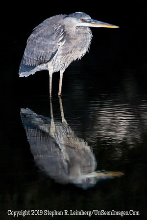 Night Heron BB Minus 1 and 2 thirds BL8I5932