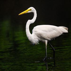 Great Egret Strutting in Golden Pond Copyright 2021 Steve Leimberg UnSeenImages Com _DSC3253 copy