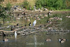 Canada Geese - Vasona Park (08) D