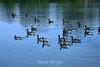 Canada Geese - Vasona Park (22) D