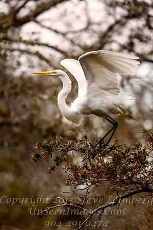 Egret About to Fly - Copyright 2018 Steve Leimberg UnSeenImages Com _Z2A3601